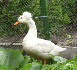 Белая русская хохлатая утка