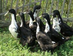 Белогрудые утки во дворе