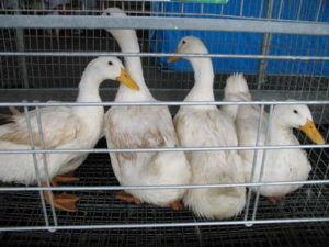 Благоварские утки - выращивание в клетке