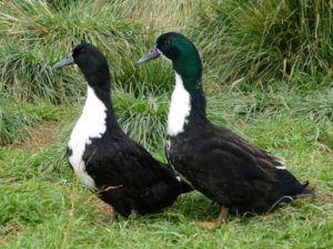 Черные белогруды - селезень(справа) и утка(слева)