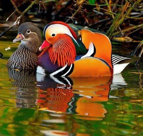 Декоративная утка - мандаринка