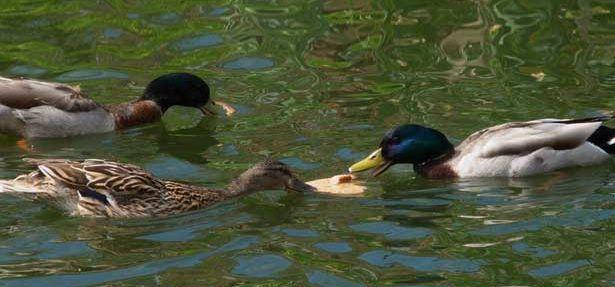 Дикие утки едят хлеб