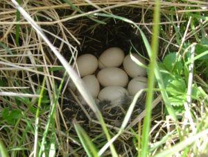 Гнездо чирка-трескунка в траве