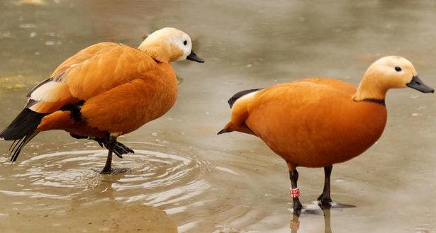 Красные утки (Огари)