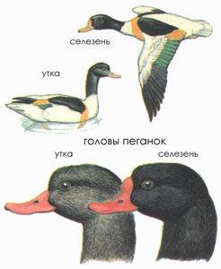 Отличия селезня пеганки от утки