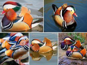 Самая красивая утка — мандаринка