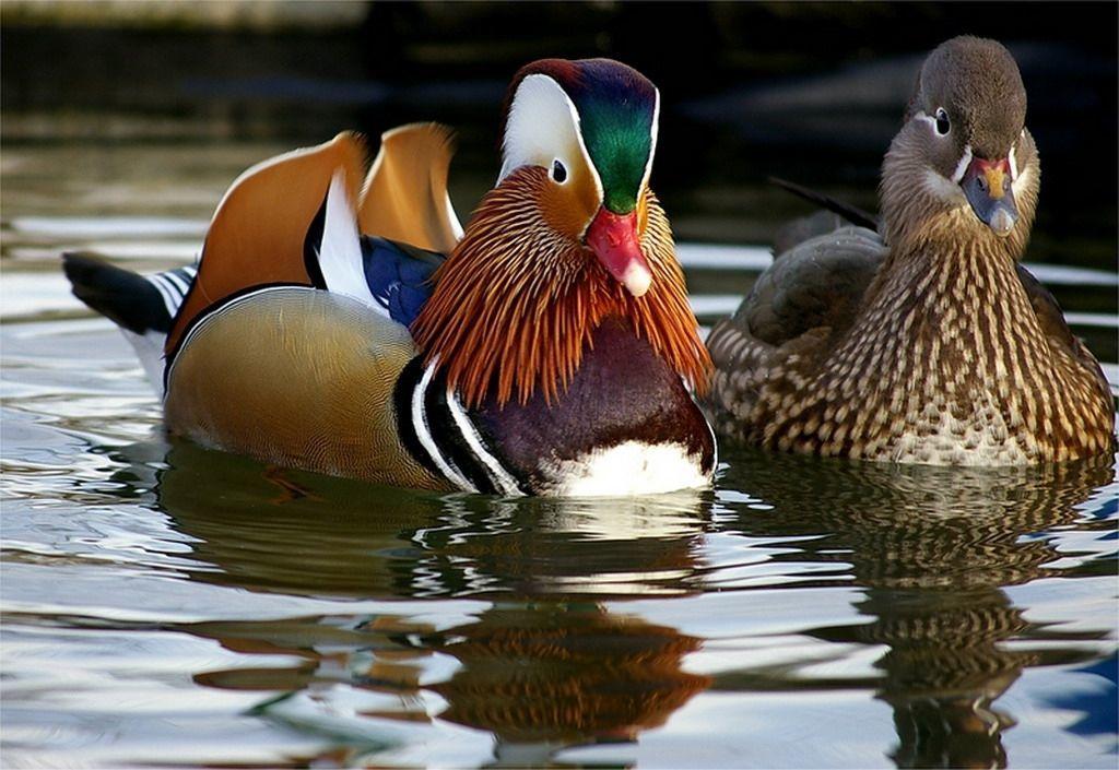 Селезень и утка мандаринки