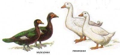 Сравнение размеров пекинской и мускусной утки