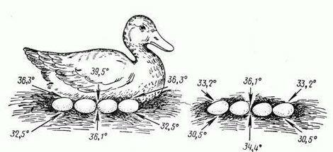 Температурный режим при высиживании яиц уткой