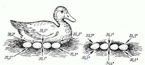 Температурный режим яиц утки при насиживании и во время прогулки
