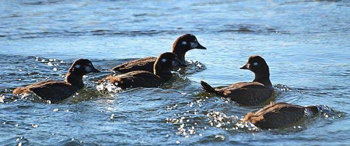 Украинские утки на водоёме