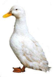 Утка породы черри-велли