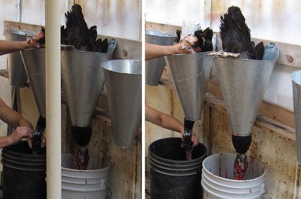 Забой уток с использованием конусов для обездвиживания