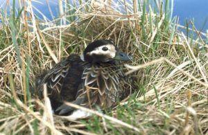 Дикая утка в гнезде