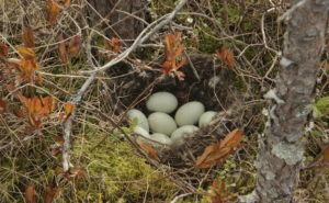 Гнездо кряквы