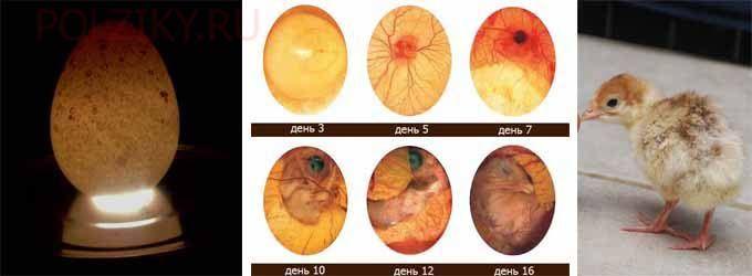 Этапы зарождения индюшат в яйце