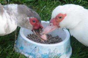 Мускусные утки едят