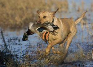 Охотничий пёс с добычей