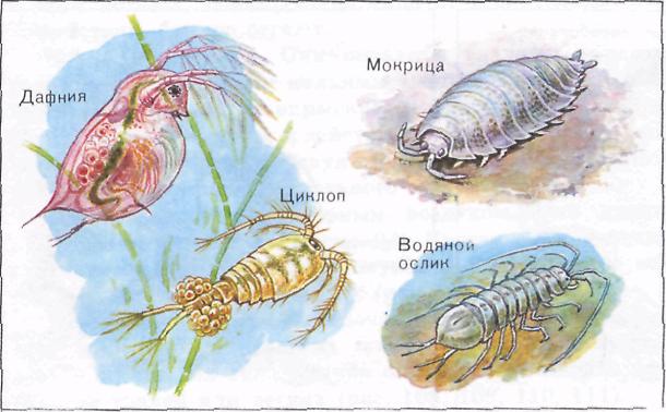 Пресноводные и наземные Ракообразные