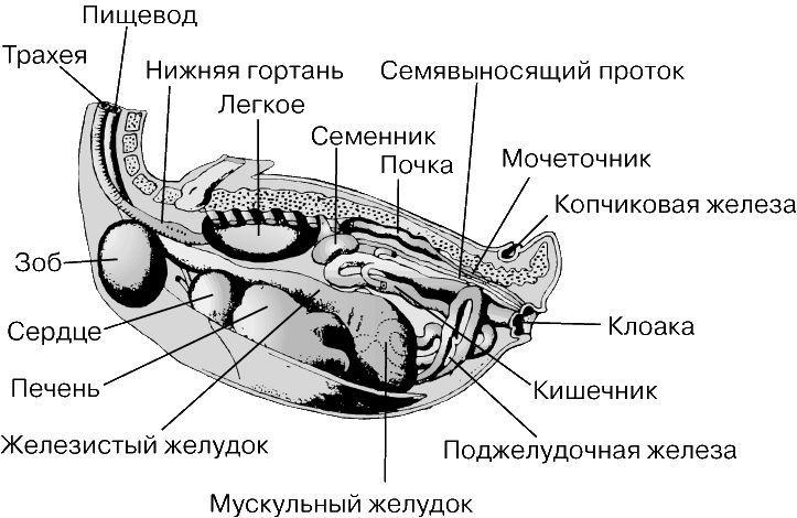 Расположение зоба утки