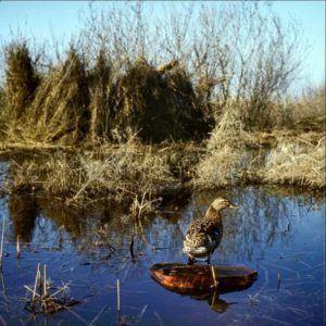 Семёновская подсадная на охоте