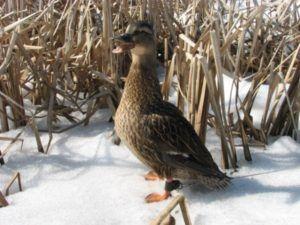 Семёновская подсадная утка