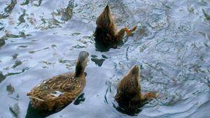 Утки кормятся на воде