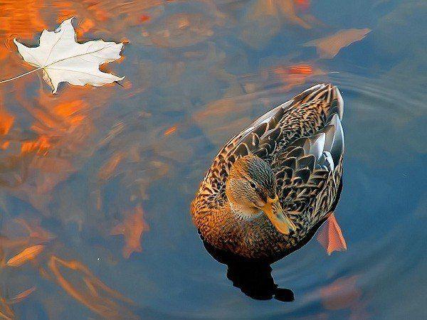 Волоколамская порода подсадной утки