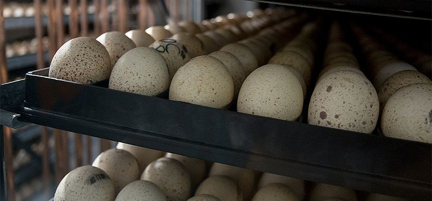 Индюшиные яйца для инкубации