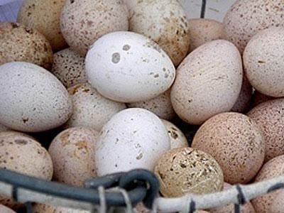 Инкубация индюшиных яиц