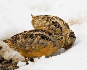 Птицы под названием вальдшнеп