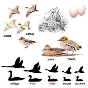 Чирок-свистунок (внешний вид селезня, утки, птенцов и гнездовья)