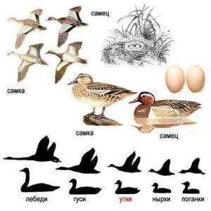 Чирок-трескунок (внешний вид особей, птенцов, яиц и гнезда)