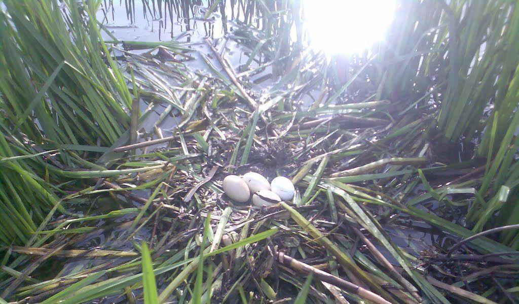 Гнездо кряквы в камыше