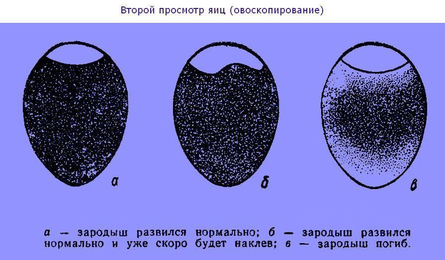 Определение яиц больунов, их отличение от яиц с зародишем