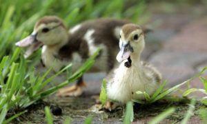 Птенцы мускусной утки