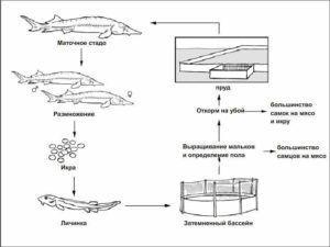 Разведение Сибирского осетра