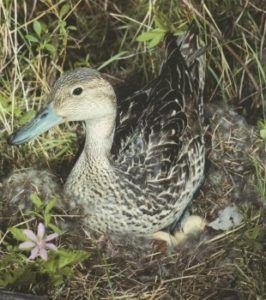 Шилохвость (самка на гнезде)