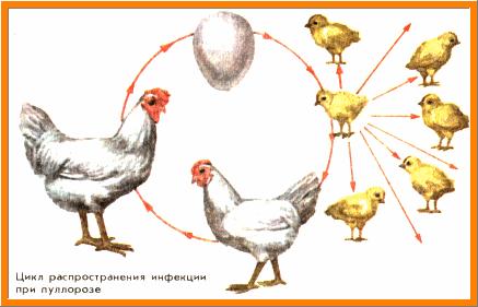 Цикл распространения болезней у птиц