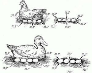 Температура яиц, когда утка уходит погулять