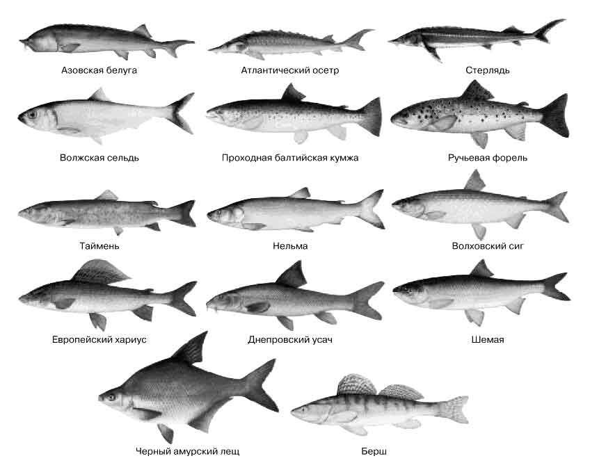 Виды рыб занесенные в красную книгу, как исчезающие, к таковым относится осетр