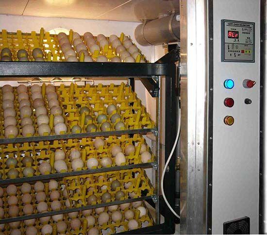 Промышленный инкубатор может вылупить более 100 яиц