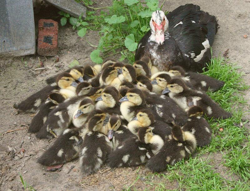 Утка наседка может высиживать до 20 яиц