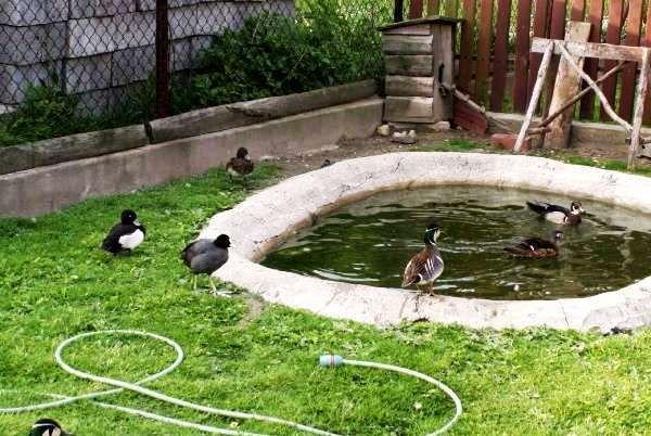 Уткам нужно много воды для купания
