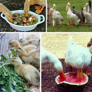 Дикие утки в основном питаются зеленью