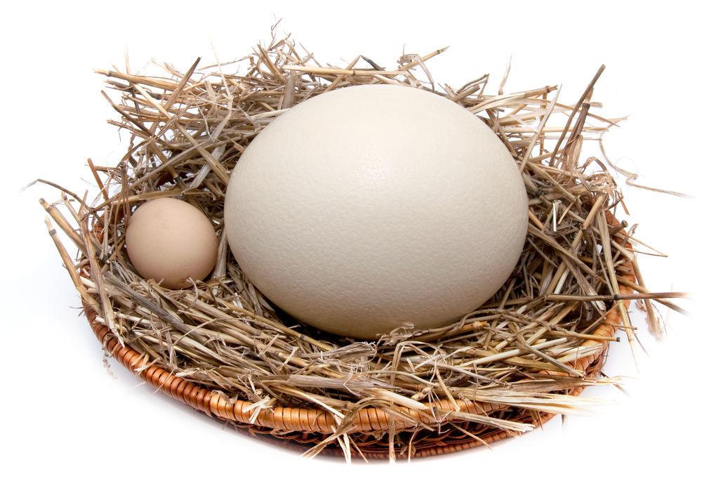 Индюшиные яйца одни из самых крупных среди домашней птицы