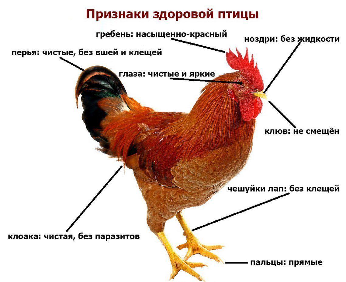 Определение здоровых птиц по внешнему виду