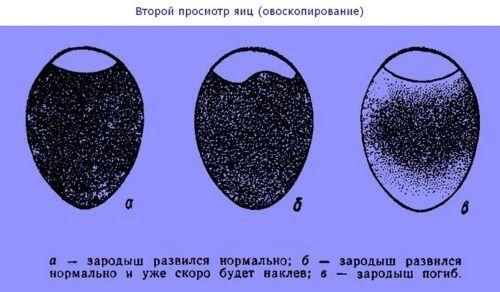 Определение яиц болтунов
