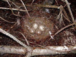 Так выглядит гнездо вальдшнепов в дикой природе
