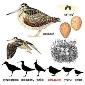 Вальдшнeп — птица семейства бекасовых
